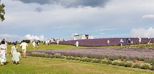 расивые места Ћатвии. Ћавандовые пол¤ Ц Lillas Lavender