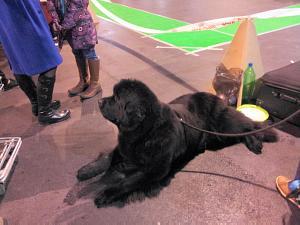 Международная  выставка собак. Рига